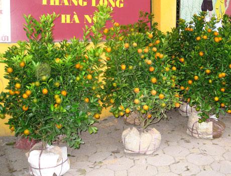 Мандариновые деревца на продаже перед вьетнамским новым годом